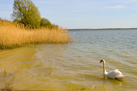 Swan on the lake of madine in the Meuse in France