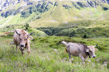 Gray cows in the tyrolean mountains in Austria