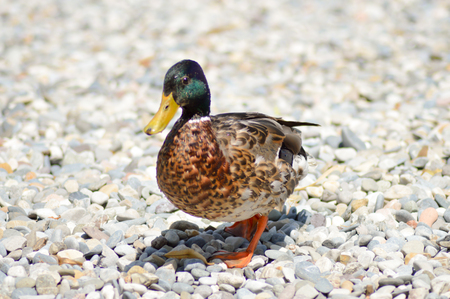 Mallard duck walking on pebbles on Lake Garda beach in Italy
