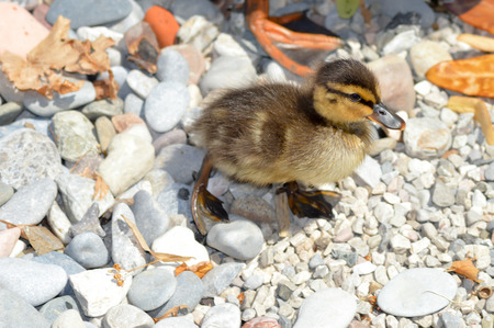 Duckling walking on pebbles on the beach of Lake Garda in Italy