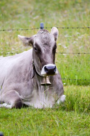 Gray cow with a bell lying in the grass on a hill from a Tyrolean mountain in Austria