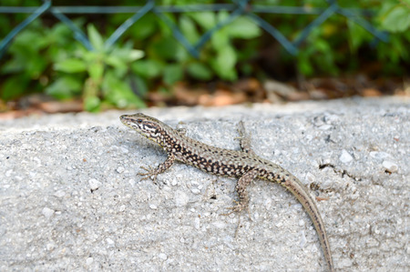 Small lizard that takes the sun on a low wall in the city of Limone in Italy Stock Photo
