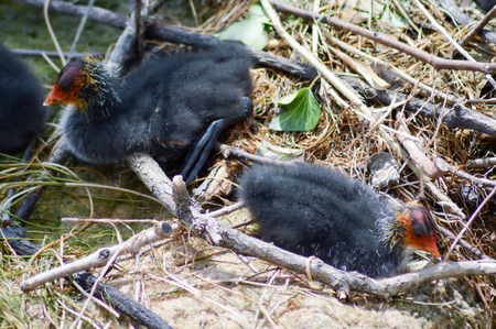 Nestled with small Coots Macrules enters herbs on a lake of the Dolomites in Italy