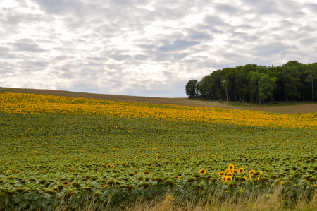 Field of sunflowers with a mouton sky in the department of the Meuse in France