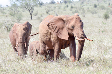 three red elephant in the savannah of tsavo west park in Kenya