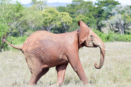 Red Elephant isolated in the savannah of Tsavo East park in Kenya