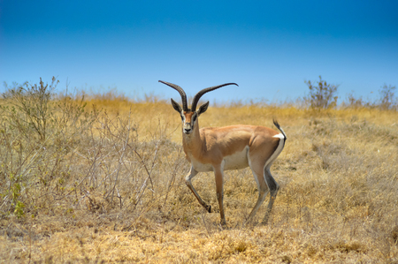 Gazelle the curious look in the African savannah