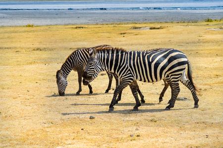 Three zebras grazing in the ngorongoro crater in Tanzania Stock Photo - 85102415