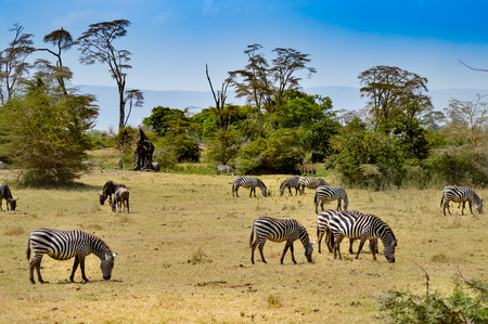 Herd of zebras grazing in the savannah of Tanzania Banque d'images