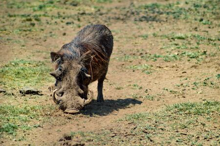 Warthog in the savanna of the Tarangire Park in Tanzania Stock Photo