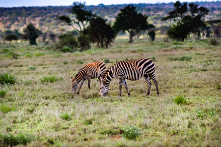 Three zebras grazing in the ngorongoro crater in Tanzania