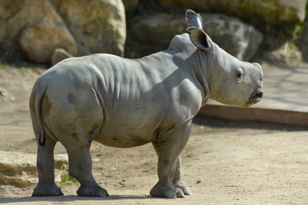 dirtied: Young rhinoceros on a rock background in a wildlife park in France Stock Photo