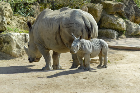 dirtied: Young rhinoceros and mum on a rock background in a wildlife park in France