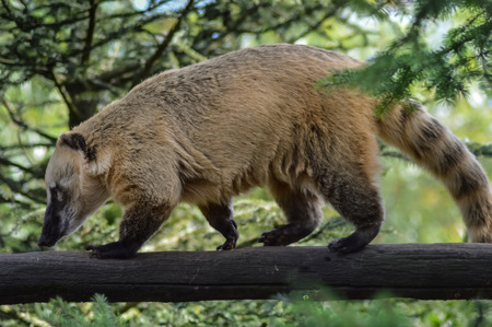 Coati roux who walks on a log in the zoo damneville in France