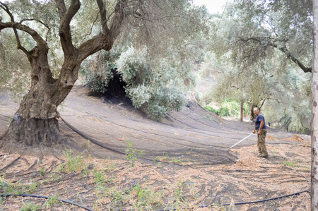 Cretan farmer who cleans the harvesting nets of olives in the mountains