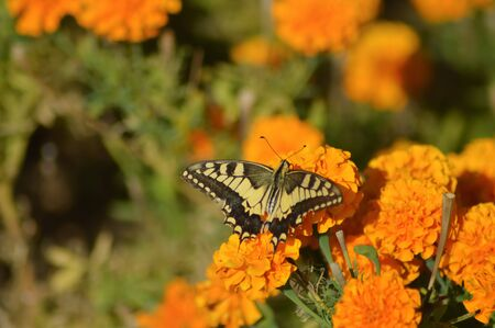 Swallowtail butterfly posing on a flower bed orange on the island of Crete