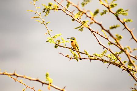 Hummingbird sitting on a black acacia branch in the savannah of Masai Mara Park in northwestern Kenya