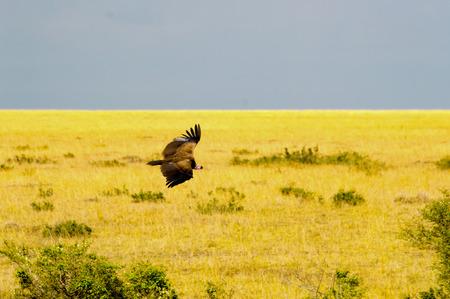 Vulture flying in the savannah of Maasai Mara Park in Kenya