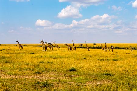 Flock of giraffes right facing a group of lions in the savannah of Maasai Mara Park in northwestern Kenya