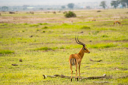 Impala isolate in the savannah plain of Amboseli Park in Kenya