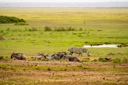 Zebras and wildebeest in the savannah plain of Amboseli Park in Kenya
