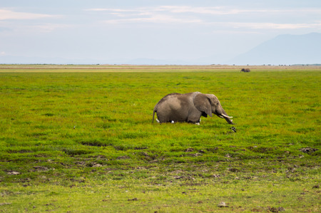 Elephant half immersed in the marshes of Amboseli Park in Kenya Stock Photo