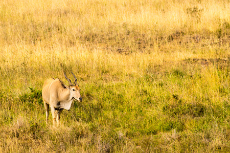 Kenya Eland isolated in the savannah countryside of Nairobi Park in Kenya