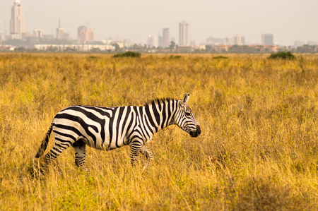 Isolated zebra in the savannah countryside of Nairobi Park in Kenya