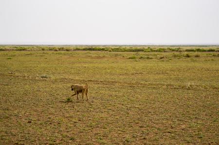 Four-legged baboon in savannah at Amboseli Park in northwestern Kenya