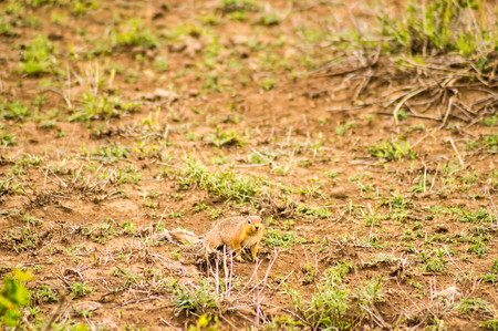 Ground squirrel in the savannah in Amboseli Park in northwestern Kenya Stock Photo