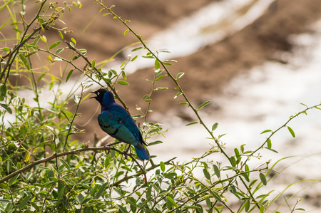 Blue and orange starling on an acacia in Amboseli Park North West Kenya Stock Photo