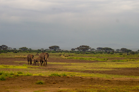 Three elephants in savannah grassland at Amboseli Park in Kenya