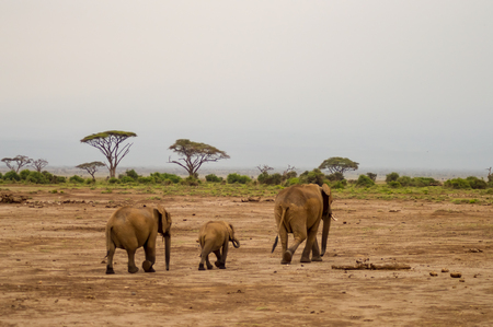 Elephant front view with his cub in the savannah of Amboseli Park in Kenya