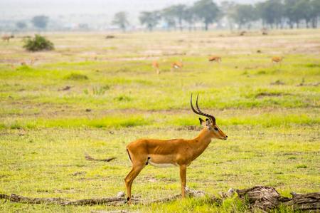Impala isolate in the savannah plain of Amboseli Park in Kenya