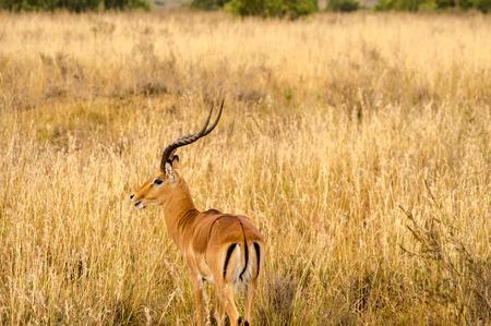 Impala in the savannah scrub of Nairobi Park in Kenya Stock Photo