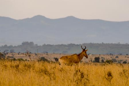 Oryx walking at sunrise in Nairobi Kenya Park
