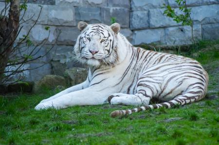 tigre blanco tumbado en la hierba en un parque del país en el oeste de bélgica Foto de archivo
