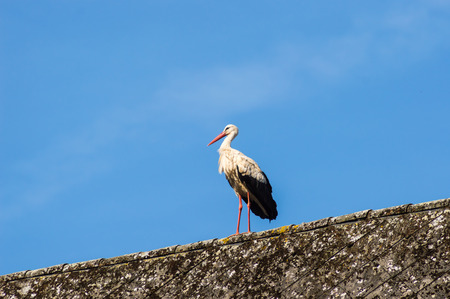 A stork on a roof in a wildlife park in the north west of Belgium