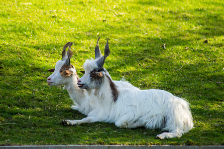 Two Rove goats with twisted horns on the grass of an animal park in Belgium Reklamní fotografie