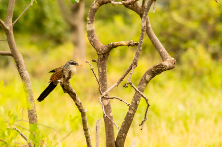 Burchell Cuckoo sitting on a branch with a butterfly in beak in Amboseli Park in Kenya