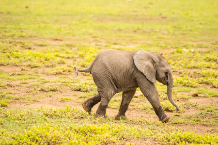 Baby elephant coming out of the marsh in the savannah of Amboseli Park in Kenya