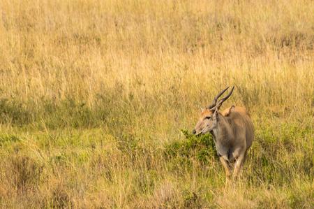 Pattersons eland isolate in Nairobi park in Kenya Stock Photo