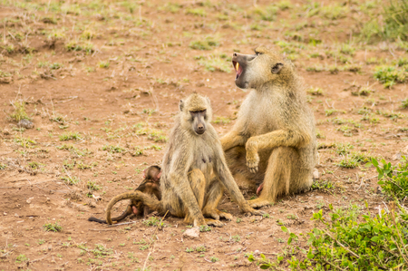 Two baboons with their cubs on their backs in the savannah of Amboseli Park in Kenya