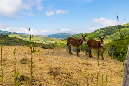 Two donkeys on a mound in a meadow in the mountains of Sicily