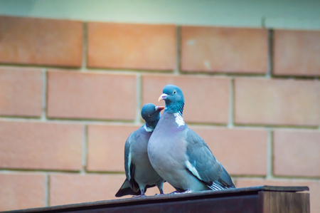 Couple of pigeons cooing on a wooden wall in a town in Sicily
