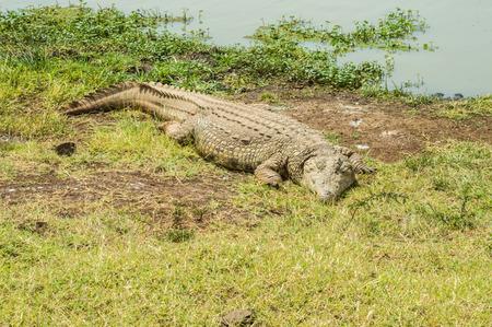 Crocodile taking a nap near a waterhole in Nairobi Kenya Park