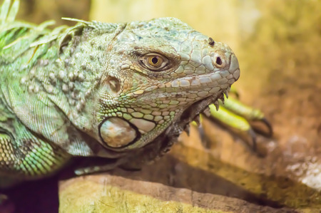 close up on the head of an iguana in a park in Belgium 스톡 콘텐츠