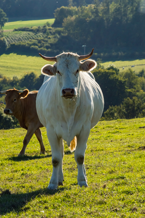 A white cow and a brunette in the meadow in Gaume with Sapinnières in the background