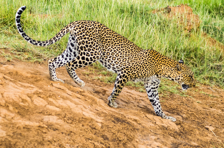 A leopard walking in the forest in Samburu Park in central Kenya 版權商用圖片