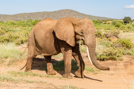 An old elephant in the savannah of Samburu Park in central Kenya